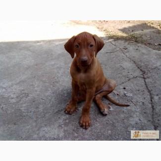 Родезийский риджбек щенки непропустите эту красоту.