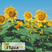 Продам семена подсолнечника гибрида НС Сумо 2017 (технология Sumo)