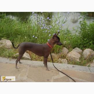 Мексиканская голая собакка, подрощеная девочка
