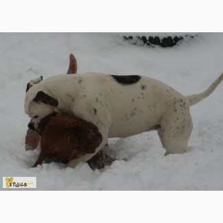 Американский бульдог/ Аmerican bulldog