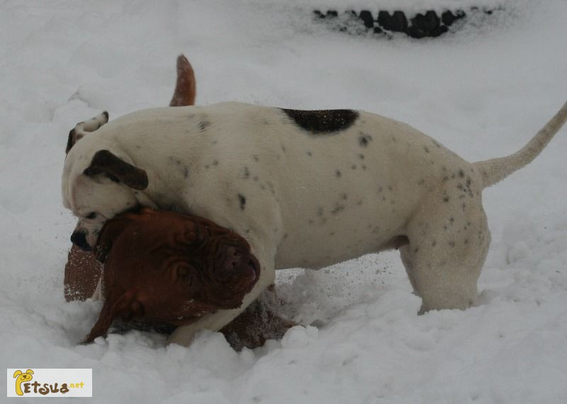 Фото 1/1. Американский бульдог/ Аmerican bulldog