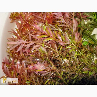 Аквариумное растение ротала-индика