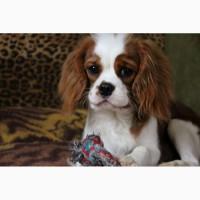 Продам подрощенного щенка кавалер кинг чарльз спаниеля