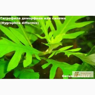 Аквариумное растение - гигрофила