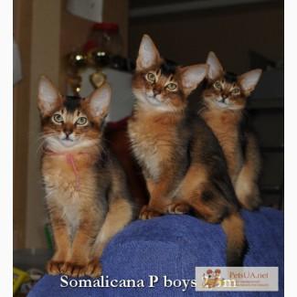 Сомалийские котята из питомника «Сомаликана». Мальчики диког сомалийские котята