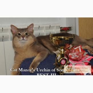 Сомалийский кот шоу-класса в качестве домашнего любимца