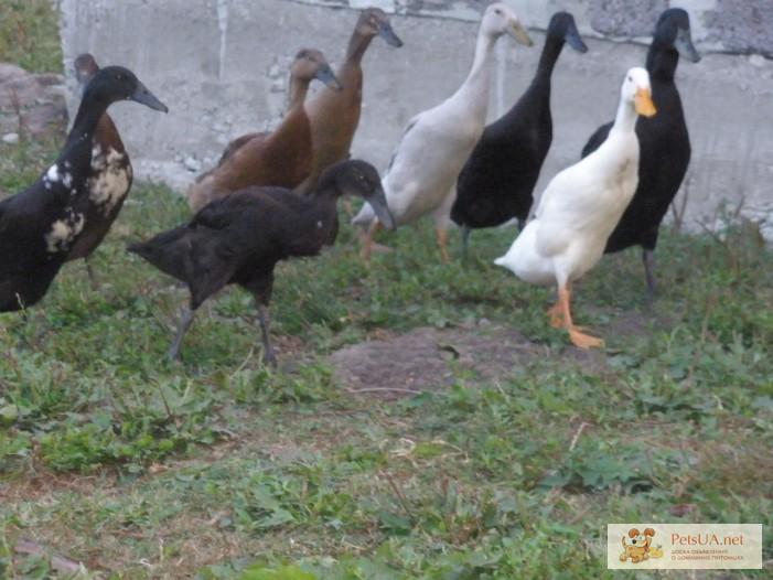 Фото 1/3. Инкубационное яйцо утки индийский бегунок