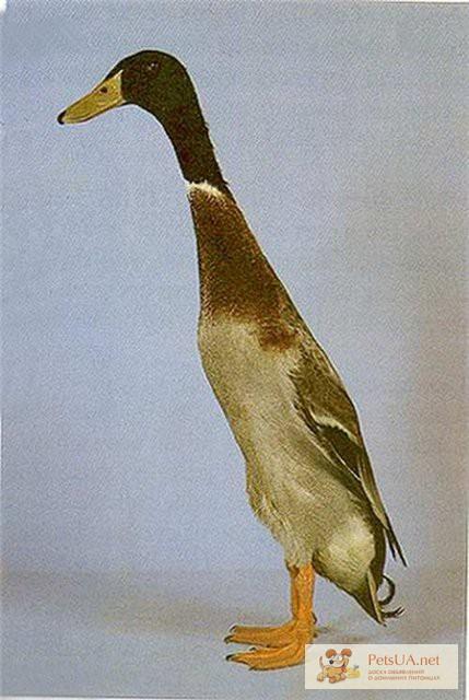 Фото 3/3. Инкубационное яйцо утки индийский бегунок