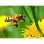 Пчелиные плодные матки (меченые) Карпатка. Вся Украина
