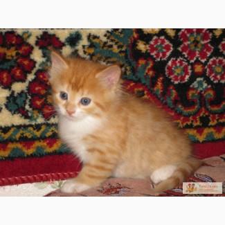 Продаются рыжие котята норвежской лесной с кисточками на ушах