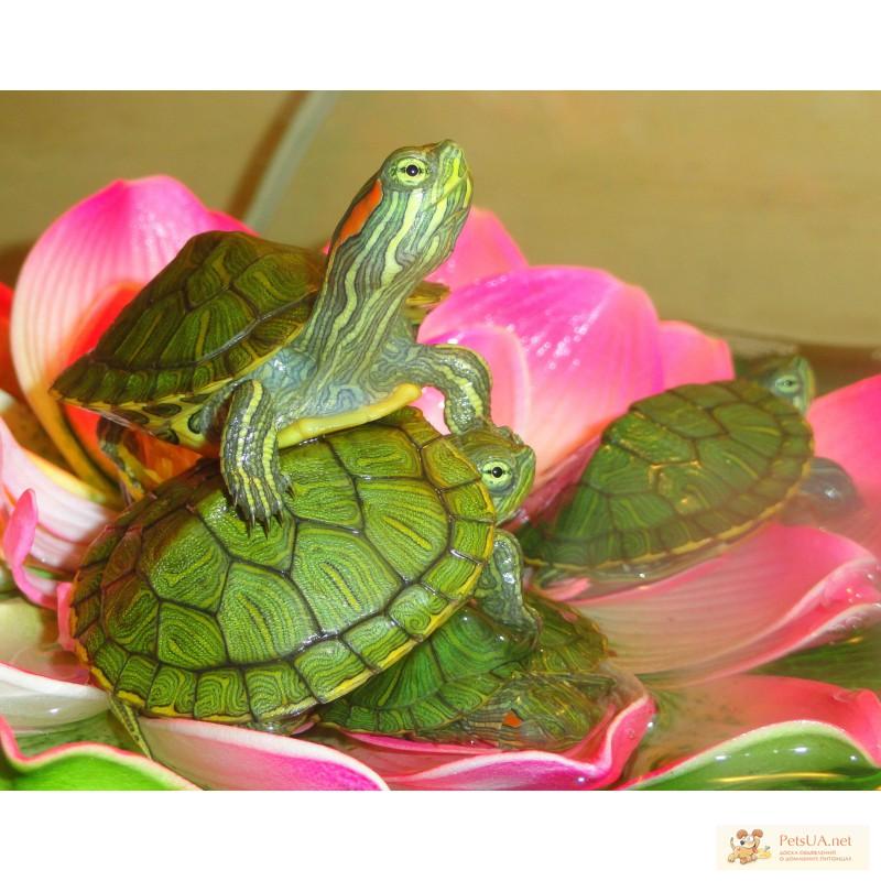 Фото 2/3. Красноухие черепахи! Доставка в любую точку Киева