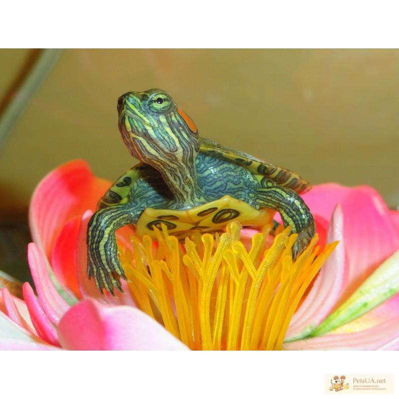 Фото 3/3. Красноухие черепахи! Доставка в любую точку Киева