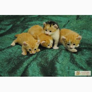 Продажа необычных и очень игривых котят породы Американский керл.