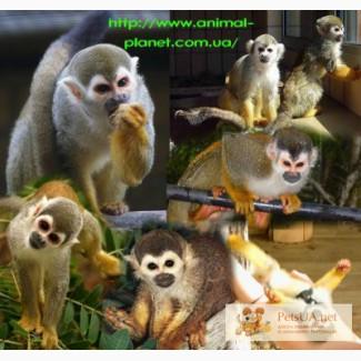 Продаются Саймири или Беличьи обезьяны (