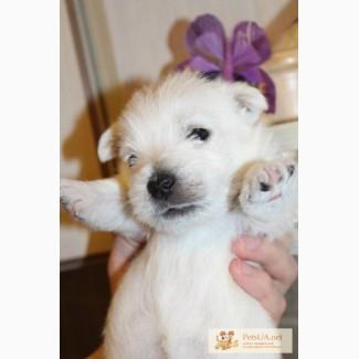 Щенки Вест хайленд уайт терьера / West Highland White Terrier