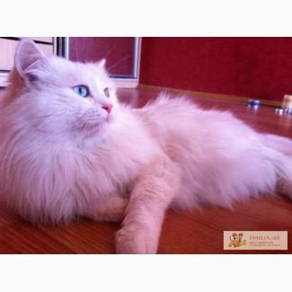 Кот турецкой ангоры ищет кошечку