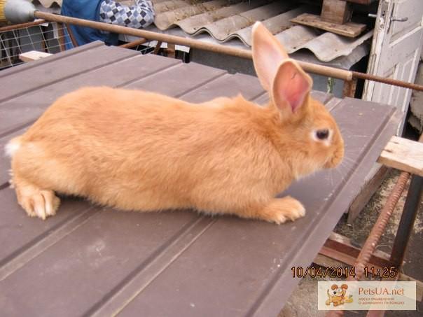 Фото 2/3. Продам чистокровных кроликов мясной породы – Бургундец