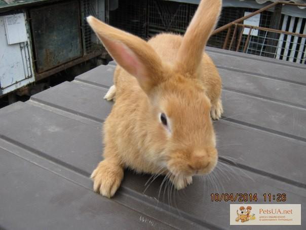 Фото 3/3. Продам чистокровных кроликов мясной породы – Бургундец