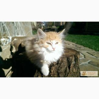 Котята сибирской породи