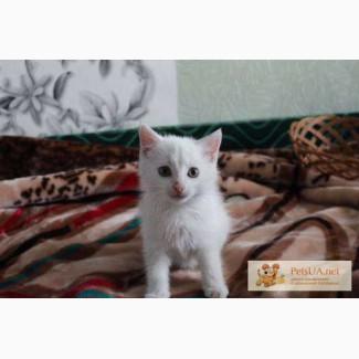 Отдам в дар белоснежного котёнка(кошечка)