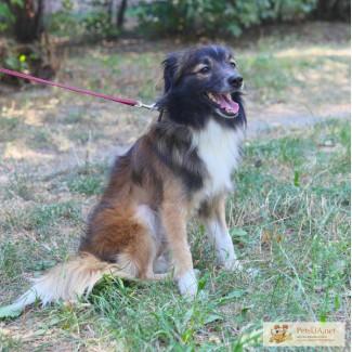 Ищет семью добрый и умный пес-метис шелти.