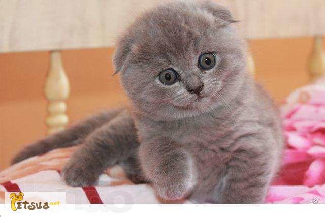 британские вислоухие котята фото и цена