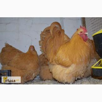 Продаю взрослую птицу породы ОРПИНГТОН