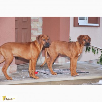 Продам щенков родезийського риджбека