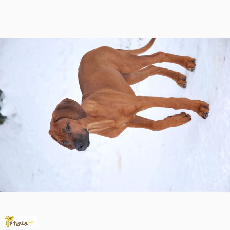 Фото 3/4. Продам щенков родезийського риджбека