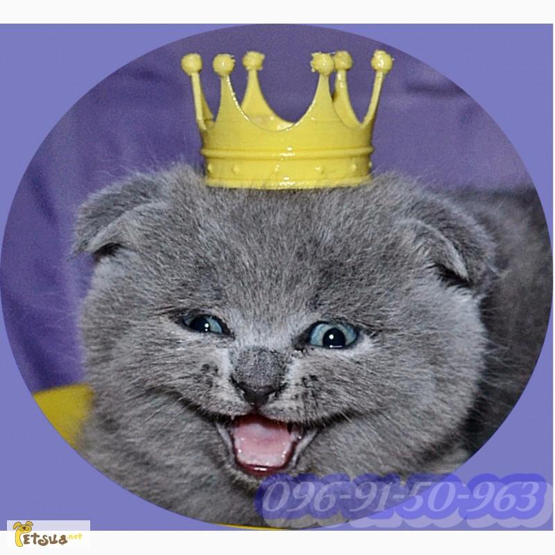 Фото 1/2. Шотландские котята (Скотиш-страйт, Скотиш фолд)