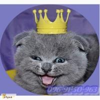 Шотландские котята (Скотиш-страйт, Скотиш фолд)