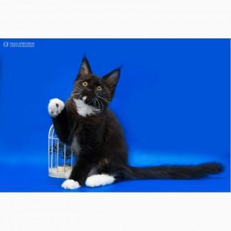 Мейн-кун, подрощенный котенок
