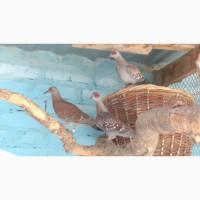 Гвинейские голуби(Гвинейские горлицы)