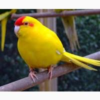 Молодые попугаы, корелла-нимпфа и какарики