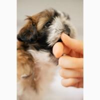 Продам щенка ши тцу в Харькове