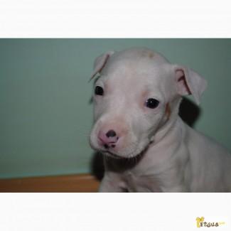 Продам щенка Пит-бультерера