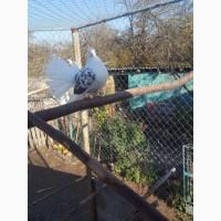 Продам голуби павлини
