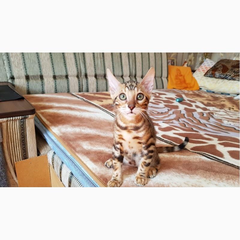 Фото 1/3. Бенгальские котята. Бенгальская кошка купить