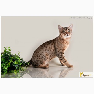Милые котята оцикет