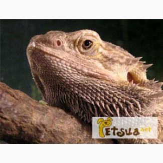 Актуальное приобретение в год динозавра - Бородатая Агама