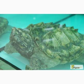 Питомник jungle-park. ГРИФОВАЯ ЧЕРЕПАХА или черепаха-танк