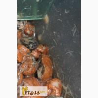 Корм для всех видов рыб. Гриндальский червь