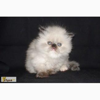 Персидские котята экстремального типа мальчики и девочки