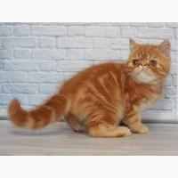 Чистокровный Экзотический котёнок