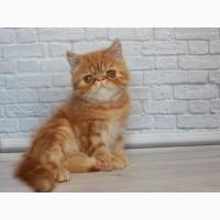 Экзот котёнок. Рыжий кот к деньгам)