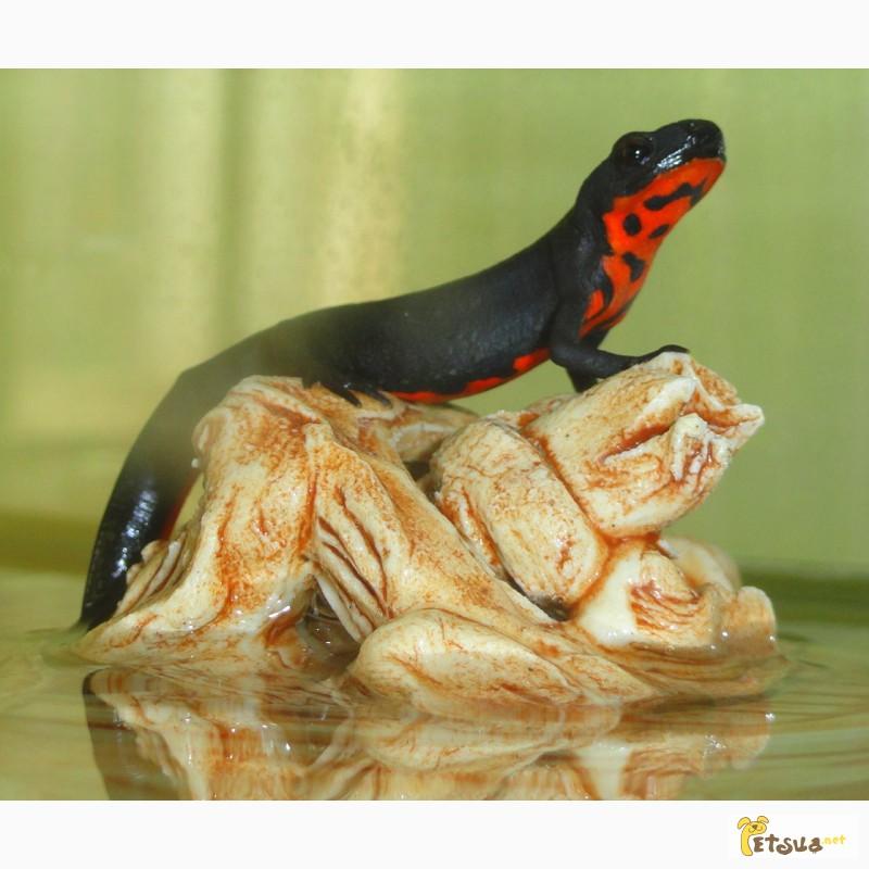 Фото 2/5. Аквариумный огненнобрюхий тритон! Доставка по всей Украине