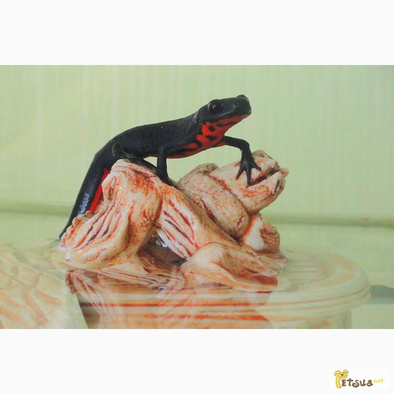Фото 3/5. Аквариумный огненнобрюхий тритон! Доставка по всей Украине