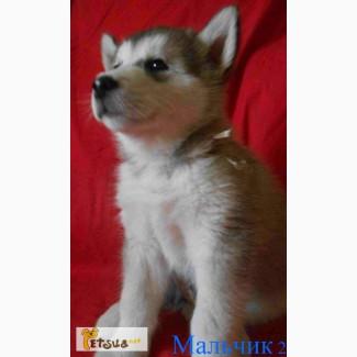 Продам щенка аляскинского маламута