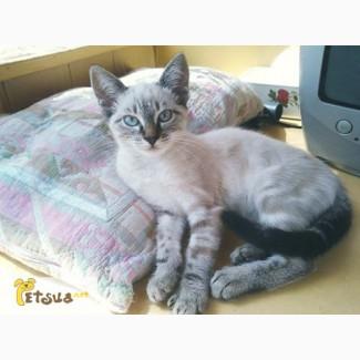 Тайские котята девочки ищут семью, 3 месяца, уникальный окрас и помесь с камышевым котом