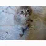 Котята длинношерстные дымчатые ищут хозяев
